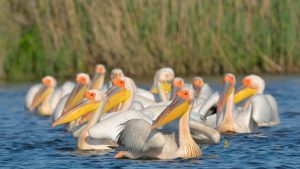 Birds of the Danube Delta - White Pelicans