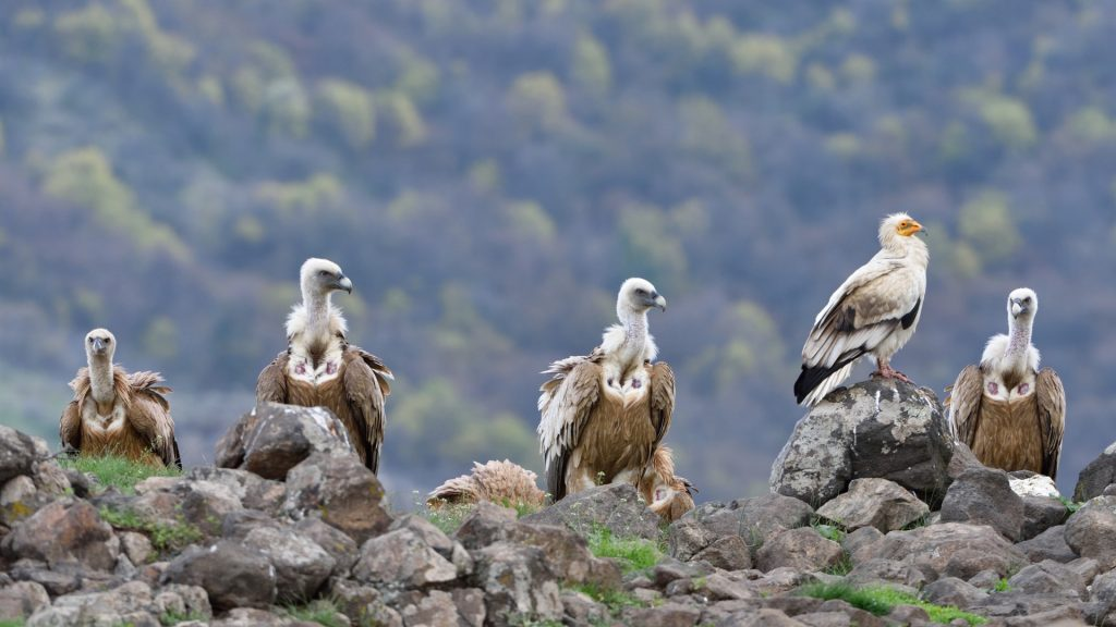 Vultures on a cliff